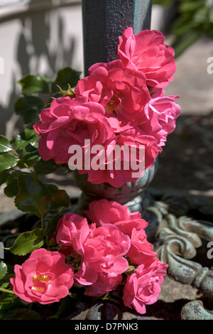 Pink floribunda rose spray at base of metal bird table in sun. - Stock Image
