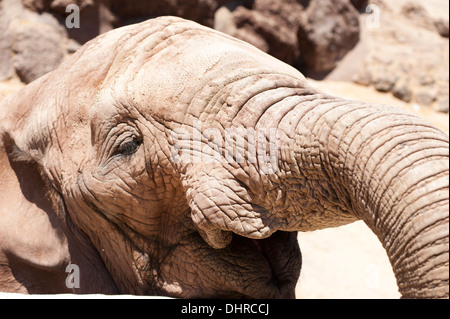 close up of elephant - Stock Image