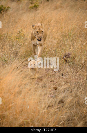 Mother and cub lion walking in brown high grass, perfectly camouflaged in african plains - Stock Image