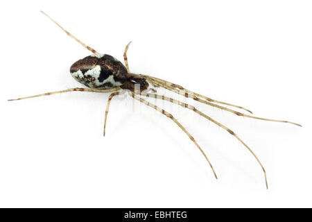 A female Blunt Stretch-spider (Tetragnatha obtusa), on a white background, part of family Tetragnathidae - Long - Stock Image