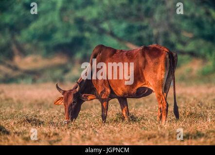 Zebu Cow, Brahman Cow or Brahma Cow, (Bos indicus), grazing in grassland, Keoladeo Ghana National Park, Bharatpur, - Stock Image