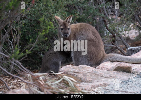 Bennets wallaby (Notamacropus rufogriseus) and young joey in the Freycinet National Park, Tasmania - Stock Image