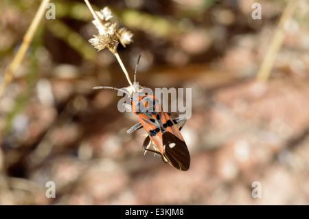 Ground bug (Spilostethus pandurus : Lygaeidae) Namibia - Stock Image