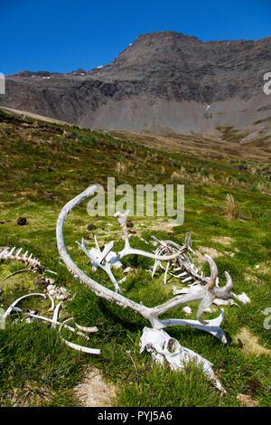 Reindeer bones, Godthul Bay, South Georgia, Antarctica. - Stock Image