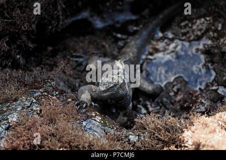 Marie iguana feeding on algae at low tide in the Galapagos Island - Stock Image