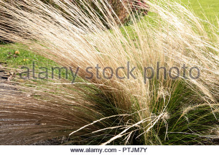 Ornamental grass UK. Stipa tenuifolia in autumn sunshine. - Stock Image