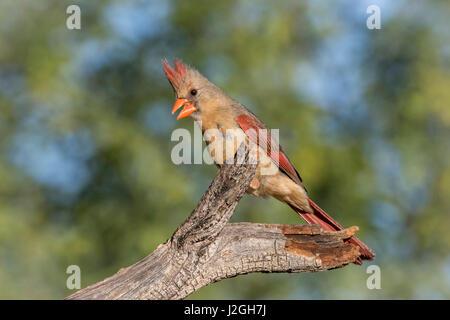 USA, Arizona, Amado. Female cardinal on branch. Credit as: Wendy Kaveney / Jaynes Gallery / DanitaDelimont.com - Stock Image