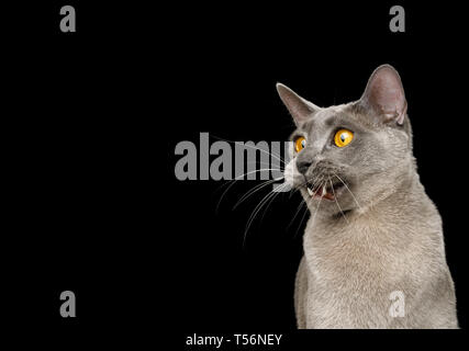 Funny Portrait of Amazement Gray Cat, opened mouth and stare at side on isolated black background - Stock Image