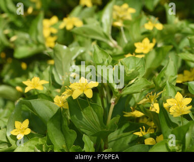 Creeping stems and flowers of yellow pimpernel (Lysimachia nemorum). Bedgebury Forest, Kent, England. UK. - Stock Image