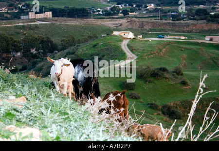 Goats at Dusk - Spain - Stock Image
