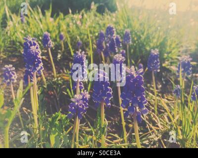 Pretty, purple Muscari or grape hyacinth on sloping hill with dirt and green grass. Warm, muted hues for a vintage, - Stock Image