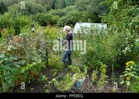 Older senior woman weeding around soft fruit bushes in a vegetable and flower country garden in autumn Carmarthenshire Dyfed Wales UK  KATHY DEWITT - Stock Image