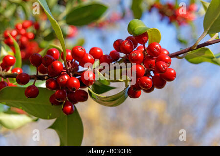 Close-up of red holly berries on a branch of an English holly tree llex aquifolium in the fall, Vancouver, BC, Canada - Stock Image