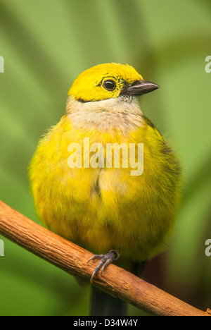 Red-billed Leiothrix (lat. Leiothrix lutea) sitting with green background - Stock Image