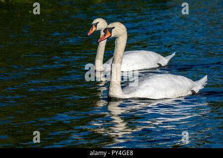 Pair of mute swans (Cygnus olor) - Stock Image