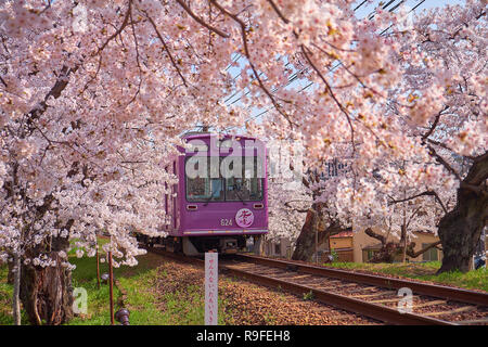 Local purple train going through a tunnel formed by branches of  cherry blossom trees in bloom. - Stock Image