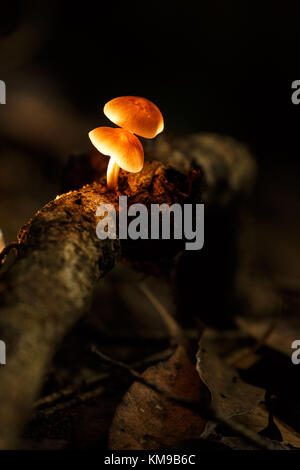 Two small mushrooms growing out of a jungle log in Papua New Guinea - Stock Image