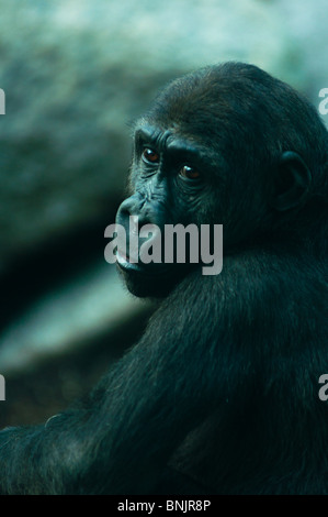 Melancholy Gorilla - Stock Image