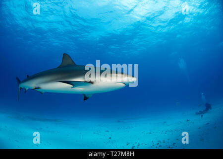 Caribbean Reef Shark (Carcharhinus perezi) in mid Water, over Sand Bottom. Tiger Beach, Bahamas - Stock Image