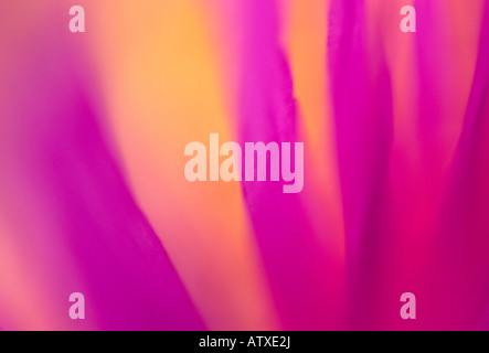 'closeup' of 'ice plant' wildflower - Stock Image