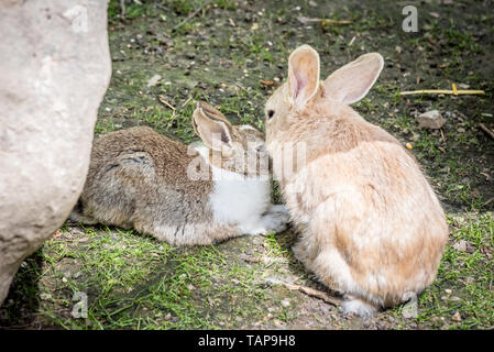 Portrait of orange adult and little fluffy rabbits kiss each other on soil in sunny day. - Stock Image