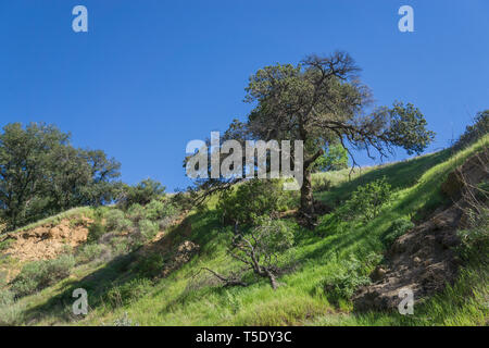 Tree grows on the edge of a grassy valley in California. - Stock Image