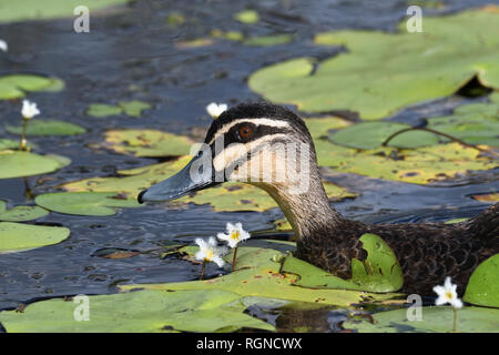 A close-up of an Australian, Queensland Pacific Black Duck ( Anas superciliosa ) in a Lagoon - Stock Image