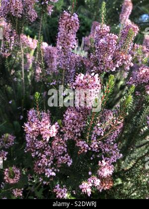 Heather plant with pink flowers - Stock Image