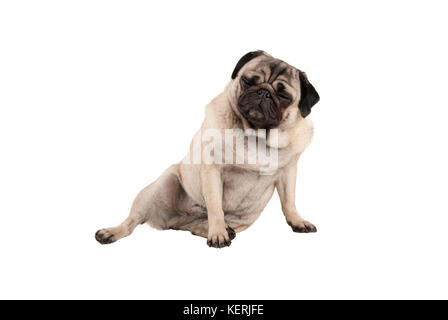 funny cool cocky pug puppy dog, sitting down with funny facial expression, isolated on white background - Stock Image