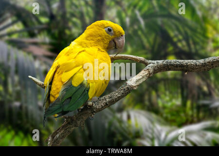 Golden parakeet / golden conure (Guaruba guarouba) perched in tree, Neotropical parrot native to the Amazon Basin of interior northern Brazil - Stock Image