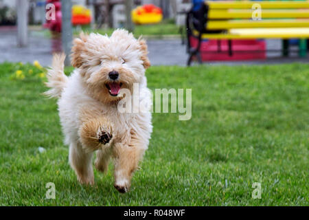Happy dog running under rain - Stock Image