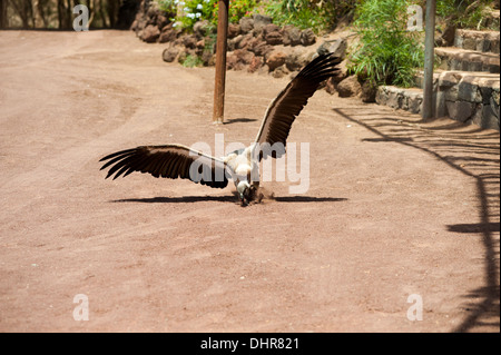 Young vulture pouncing - Stock Image