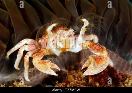 Spotted Porcelain Crab (Neopetrolisthes maculatus) in an Anemone. Tofo, Mozambique - Stock Image