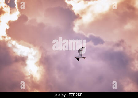 Seagull fly and hover against a moody dramatic cloudy sky - Stock Image
