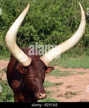 Enormous horned Sanga cattle are kept for meat and milk and selectively bred for different horn shapes by different tribes. The cattle are remarkable - Stock Image