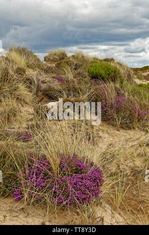 FINDHORN MORAY COAST SCOTLAND PURPLE FLOWERS OF BELL HEATHER ERICA CINEREA GROWING ON A SAND DUNE - Stock Image