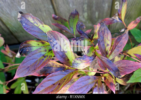 Close-up of peony plant leaves infected with gray mold blight or botrytis blight - Stock Image
