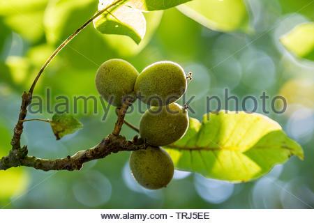 Green walnuts - Stock Image