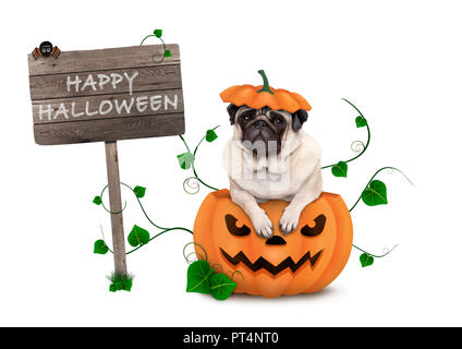 cute pug puppy dog sitting in carved pumpkin with scary face, wearing lid as hat, with wooden sign saying happy halloween isolated on white background - Stock Image