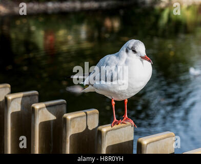 Black headed gull out of the breeding season l with growth under its foot perched on a fence - Stock Image