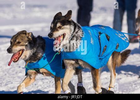 Ray Redington Jr.'s Dog Team Races In The 2017 Iditarod Along The Tanana River In Fairbanks. - Stock Image