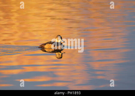 A hen ring-necked duck in early morning light. - Stock Image