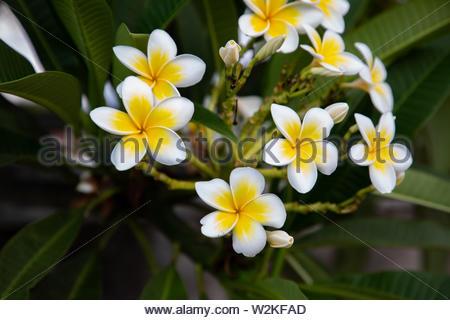 Beautiful Plumeria flowers closeup shot in Lovina Bali, Indonesia with copy space - Stock Image