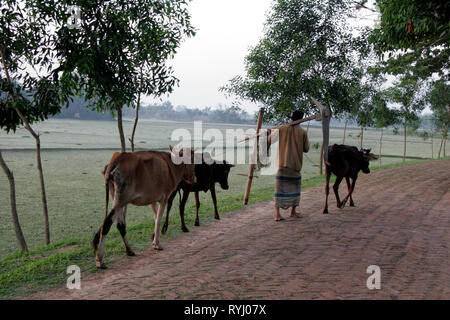 BANGLADESH Man carrying plouigh and leading his oxen, Haluaghat, Mymensingh region photo by Sean Sprague - Stock Image