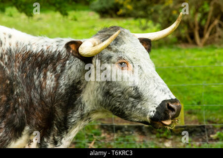 Close up of a Longhorn Cow, an ancient breed of cattle on common grazing land in North Yorkshire.  Facing right, chewing the cud. Landscape. - Stock Image