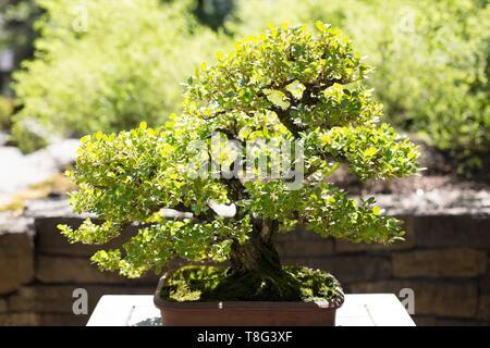 Buxus Japonica - Japanese Boxwood - bonsai, age 55 years, at Portland Japanese Garden in Portland, Oregon, USA. - Stock Image