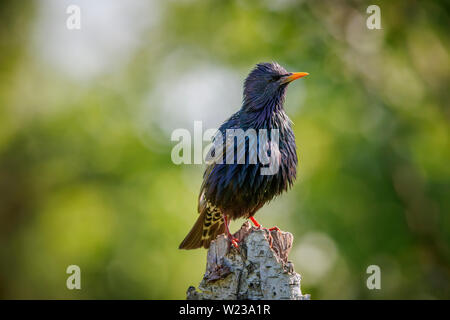 European starling (Sturnus vulgaris) perching on a stump with wet feathers, Koros-Maros National Park, Bekes County, Hungary - Stock Image