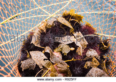 Photograph of freshly caught sea urchin in a basket, San Diego, California, USA - Stock Image