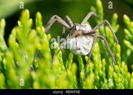 Nursery Webb spider, Pisaura mirabilis, carrying egg sac, Sussex, UK, - Stock Image