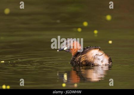 Midget diver, Tachybaptus ruficollis, Zwergtaucher (Tachybaptus ruficollis) - Stock Image